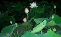荷花 (flor de loto)