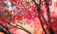 Maple-tree leaves